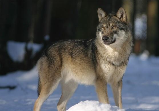 狼性沒那麼了不起,別為了追求狼性,而忘記了你的人性